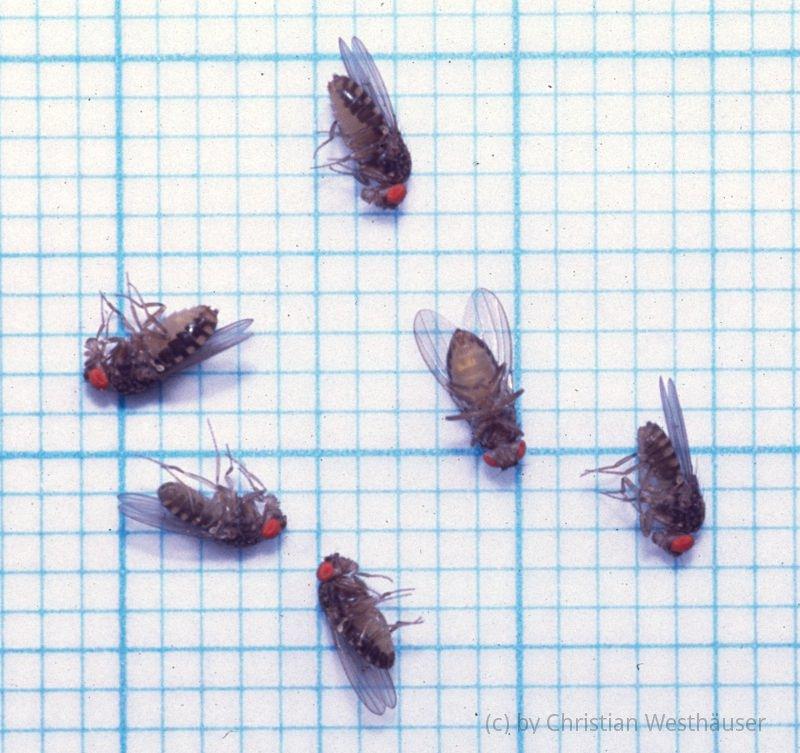 Kleine fliegen in der blumenerde trauerm cken kleine for Hausmittel gegen kleine fliegen in blumenerde